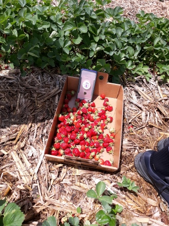 strawberry13